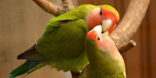Hurtan 150 lovebirds en Coamo